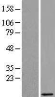 NBL1-08250 - PRAC Lysate