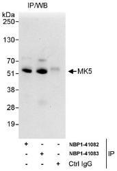 NBP1-41082 - MAPKAP Kinase-5