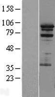 NBL1-14722 - PRAM1 Lysate