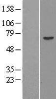 NBL1-14723 - PRAME Lysate