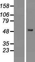 NBL1-14727 - PRAMEF2 Lysate