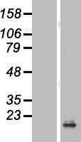 NBL1-14728 - PRAP1 Lysate
