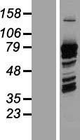 NBL1-14729 - PRC1 Lysate