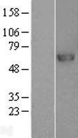 NBL1-14731 - PRCP Lysate