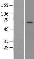 NBL1-14732 - PRCP Lysate