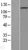 NBL1-14734 - PRDM10 Lysate