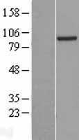 NBL1-14736 - PRDM4 Lysate