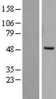 NBL1-14744 - PREB Lysate