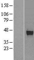 NBL1-14747 - PRELP Lysate