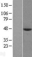 NBL1-14748 - PRELP Lysate