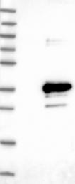 NBP1-88573 - Proteoglycan 2