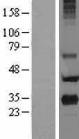 NBL1-14752 - PRG2 Lysate
