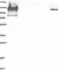 NBP1-90517 - PRICKLE2
