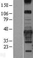 NBL1-14773 - PRKCDBP Lysate