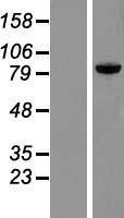 NBL1-14786 - PRKRIR Lysate