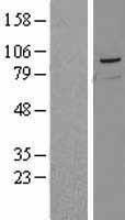 NBL1-12632 - PRMT10 Lysate