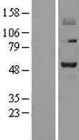NBL1-14793 - PRMT2 Lysate