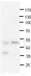 NBP1-52944 - PRMT2