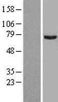 NBL1-14795 - PRMT5 Lysate