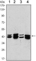 NBP1-51597 - PRMT6 / HRMT1L6