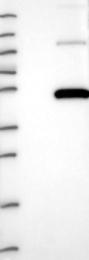 NBP1-81702 - PRMT8 / HRMT1L3