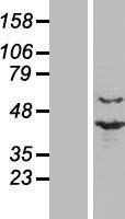 NBL1-14816 - PRP18 Lysate