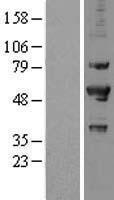 NBL1-14817 - PRP19 Lysate