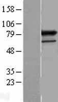 NBL1-14818 - PRPF3 Lysate