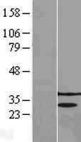 NBL1-17207 - PRPK Lysate