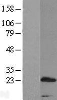 NBL1-14834 - PRR15 Lysate