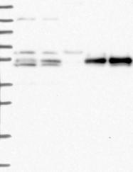 NBP1-83514 - PRRC1