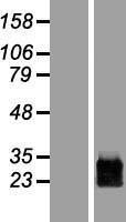 NBL1-14837 - PRRG1 Lysate