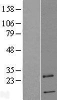 NBL1-14838 - PRRG4 Lysate