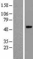 NBL1-14848 - PRSS35 Lysate