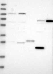 NBP1-83261 - PRTFDC1
