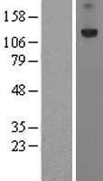 NBL1-14850 - PRTG Lysate