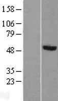 NBL1-14852 - PRUNE Lysate