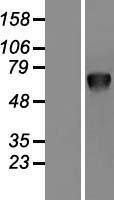 NBL1-14855 - PSAP Lysate