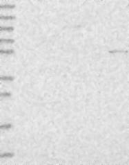 NBP1-90903 - PSAPL1