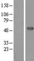 NBL1-14858 - PSCD4 Lysate