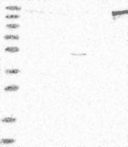 NBP1-84006 - PSD4