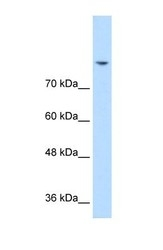NBP1-59715 - DLG2 / PSD93