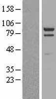 NBL1-09911 - PSD95 Lysate