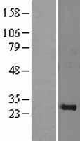 NBL1-11076 - PSF1 Lysate