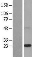 NBL1-11077 - PSF2 Lysate