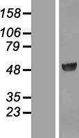 NBL1-14866 - PSG3 Lysate
