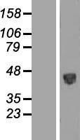 NBL1-14867 - PSG5 Lysate