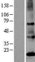 NBL1-13961 - PSGR Lysate