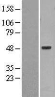 NBL1-14870 - PSKH1 Lysate