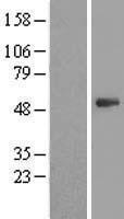 NBL1-14896 - PSMD11 Lysate